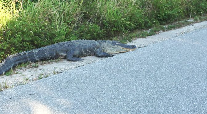It's a Gator on The Trail!
